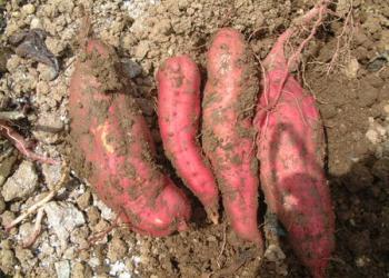 長尾芋掘り農園