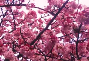 【2020年見ごろ】熱海の糸川桜祭り、早咲きの桜と駐車場・混雑状況