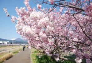 南足柄-富士フィルム裏の桜並木「春木径・幸せ道」の桜開花状況と駐車場について