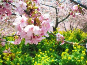 2月に関東でお花見!早咲き「松田山の桜」が富士山との共演で絶景