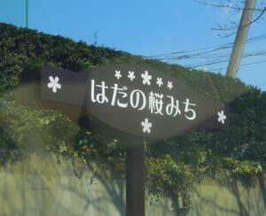 神奈川最長の桜並木「はだの桜道」の開花状況・駐車場|神奈川の穴場桜スポット