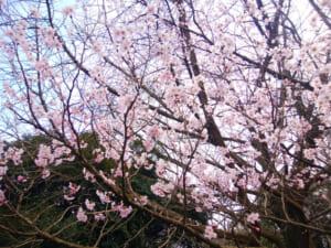 綾瀬-城山公園の桜の開花状況と駐車場