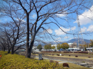 秦野中央運動公園の桜開花状況と駐車場。見頃予想は3月29日