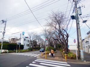 綾瀬市、綾西緑地の桜並木の開花状況は