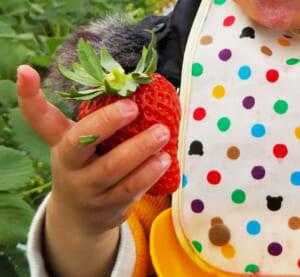 【2019年】神奈川で当日OK!子供とイチゴ狩りできる「湘南いちご狩りセンター」へ