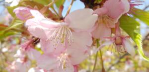 【2019年】目黒川の桜開花予想と桜まつりの混雑回避・アクセス・見頃