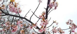 【2019年】三浦海岸-桜の開花状況と桜まつりの混雑・駐車場