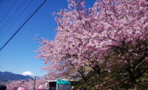関東近郊で2月に早咲きの河津桜を楽しめる名所3選