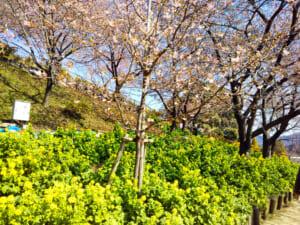 【2019年】松田の桜・開花状況と、まつだ桜まつりの混雑・駐車場・シャトルバスまとめ