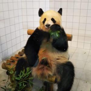 上野を超える穴場スポット、パンダに餌やりができる動物園があった