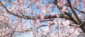 【2019年】都内のお花見スポット、桜の開花と満開予想・混雑状況まとめ