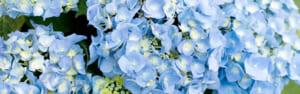 鎌倉明月院のあじさい開花状況と混雑回避法
