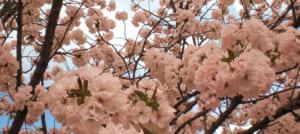 【2019年】上野公園の桜、開花予想と屋台・格安の周辺駐車場
