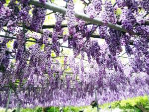 ゴールデンウィークに「あしかがフラワーパーク」へ藤の花を見に