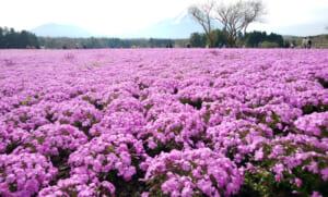 GWに「富士芝桜まつり」へ行った時の異常な渋滞状況レポ
