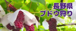 【割引クーポン】長野県でブドウ狩り、評判の良いお勧め農園5選