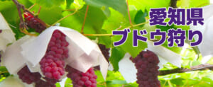 愛知県のブドウ狩り