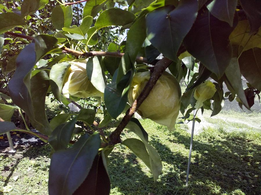 中込農園で梨狩り