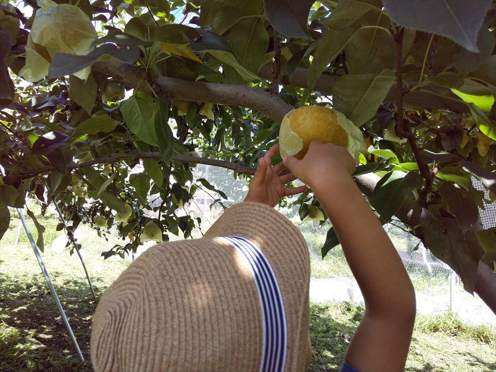 中込農園で梨狩り 子供でも届く
