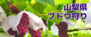 【割引あり】山梨県でブドウ食べ放題、オススメのフルーツ狩り農園8選